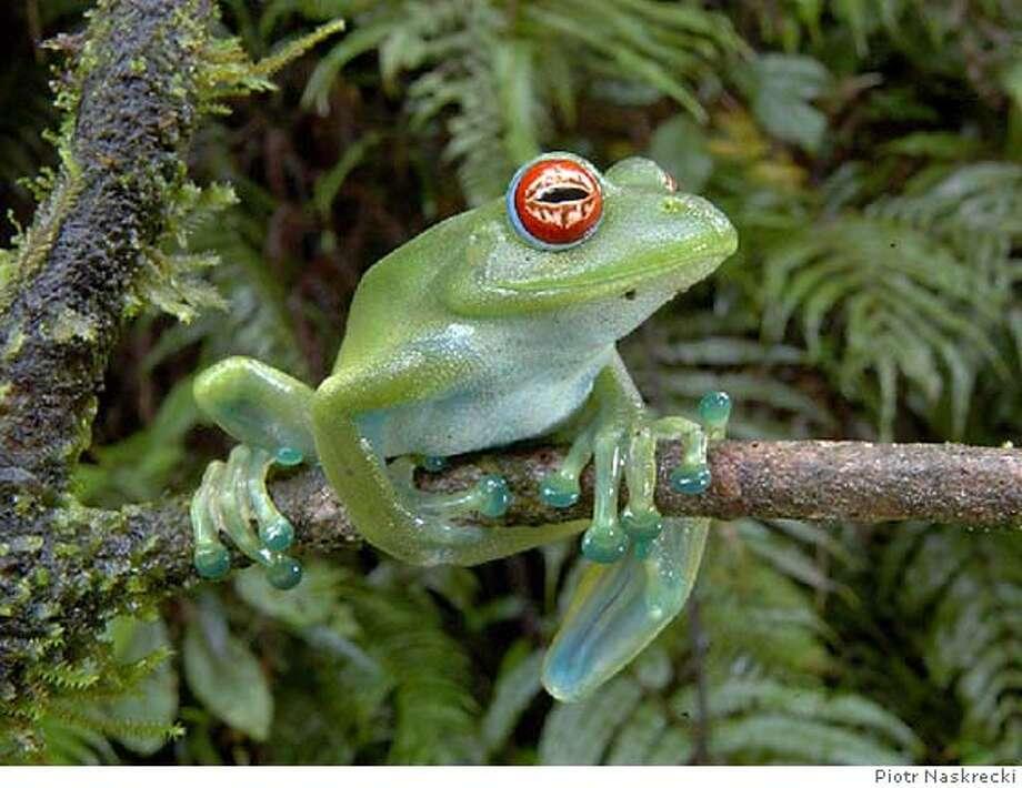 Boophis luteus, Least Concern, Madagascar Photo: Piotr Naskrecki