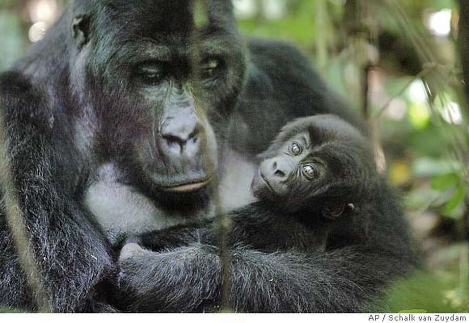 A female mountain gorilla called Mugeni, 15, and her five month old son, Bonane, in the Kahuzi Biega Nature Park near the town of Bukavu , Democratic Republic of Congo, on Sunday, May 2, 2004. Thousands of farmers overran the forests of Congo's oldest national park - the separate Virunga national park , a World Heritage Site, slashing and burning whole kilometres (miles) in the latest threat to the home of more than half of the world's 700 remaining mountain gorillas, conservationists and park workers say. (AP Photo/Schalk van Zuydam) Ran on: 07-16-2004  A female mountain gorilla called Mugeni, 15, and her 5-month- old son, Bonane, in the Kahuzi Biega Nature Park in Congo. PHOTO MADE AVAILABLE THURSDAY, JULY 15, 2004 Photo: SCHALK VAN ZUYDAM