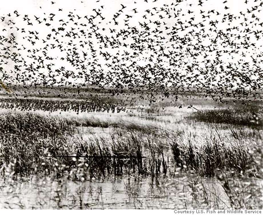 BIRDS-C-12SEP01-DD-HO Hundreds of thousands of pintails migrating from their breeding grounds stop at Sacrament National Wildlife Refuge near Willows, CA. PHOTO COURTESY U.S. FISH AND WILDLIFE SERVICE Photo: HANDOUT