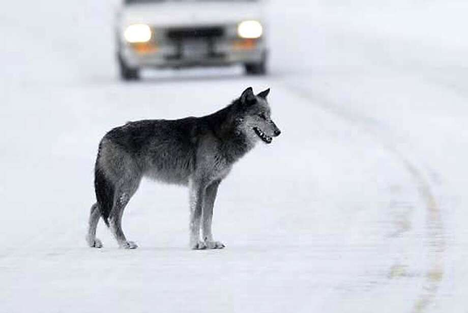 """The Lamar Valley in Yellowstone's northeast corner, known as """"North America's little Serengeti,"""" is one of the best places on the continent for spotting wolves -- even on park roads. National Park Service photo by Jim Peaco"""