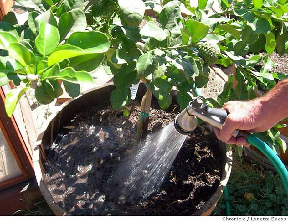 Caption: It's important to citrus trees, like this kaffir lime, to be kept well watered at this time of the season Photo: Lynette Evans
