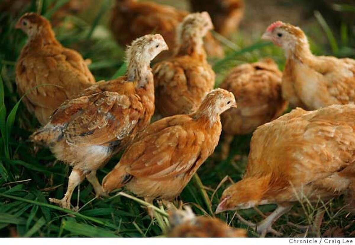 CHICKENS_089_cl.JPG Alexis Koefoed raising chickens called