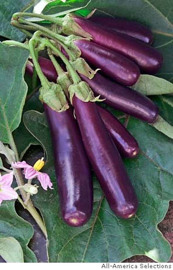 Finger-size eggplants, which grow in clusters, are ready for harvest at 3 inches but won't become bitter if left to grow longer. Photo courtesy of All-America Selections