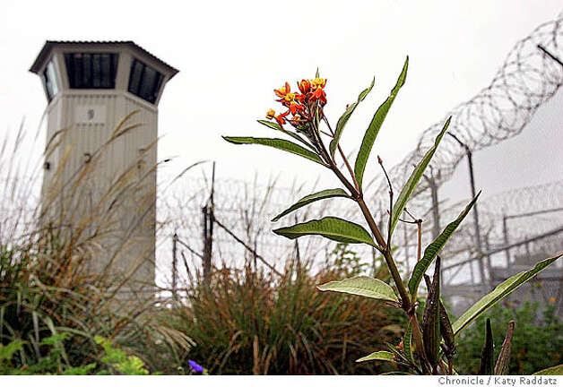 SHOWN: At the garden at San Quentin Prison, some plants are still blooming in the dead of winter: this milkweed flower stands strong, with the guard tower and concertina wire behind it. Garden at San Quentin Prison. Photo taken on 12/23/05, in SAN QUENTIN, CA.  By Katy Raddatz / The San Francisco Chronicle Photo: Katy Raddatz