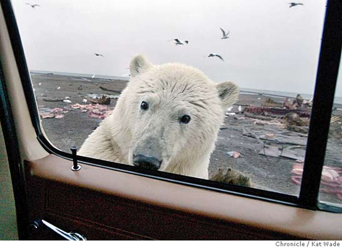 On 9/11/05 in Kaktovik AK as the sun sets on Barter Island a two year old Polar Bear cub stops feeding on the leftover carcasses of bowhead whales to peek in the window at the photographer. For hundreds of years the bears have come during whale hunting season in a simbiotic relationship with the Inupiat Eskimos who are a subsistance hunting village. Kat Wade/The Chronicle