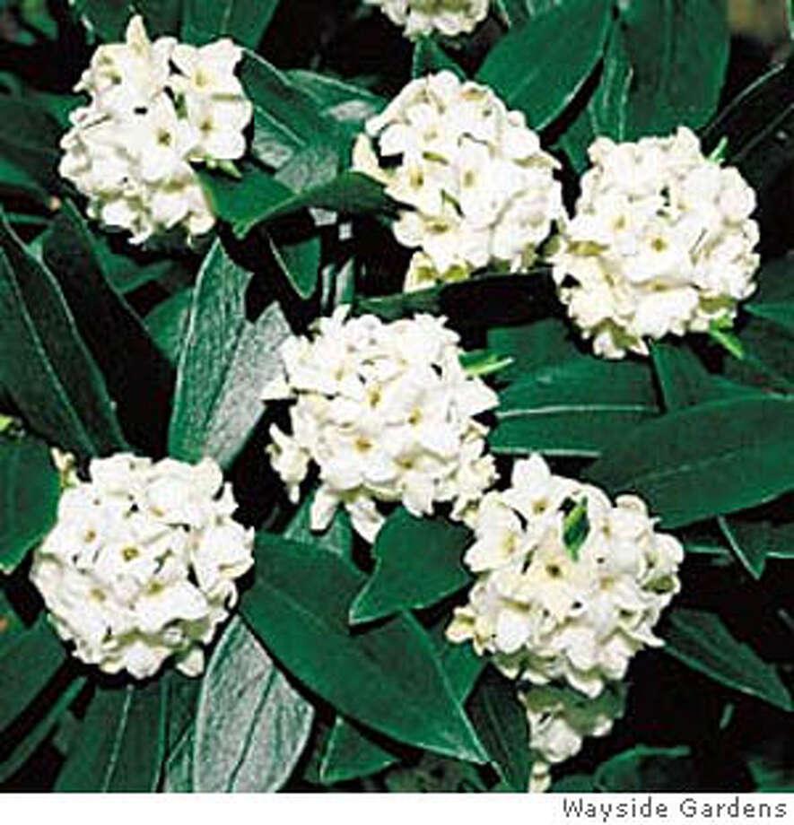 Pick Of The Week Daphne Odora Blooming Shrub Displays Its