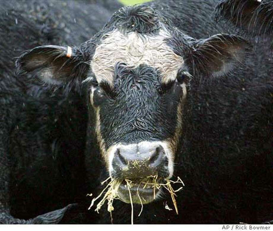 A black Angus beef cow eats hay in the Oregon cow pasture of Steve Coleman Sunday, Dec. 28, 2003, in Molalla, Ore. After the discovery of mad cow disease in neighboring Washington state, his herd lost a third of its value, or about $160,000, Coleman said. (AP Photo/ Rick Bowmer) Nation#MainNews#Chronicle#12/30/2003#ALL#5star#A12#0421547292 All U.S. cattle slaughtered for human consumption be tested for mad cow disease, a UCSF researcher recommends. All U.S. cattle slaughtered for human consumption be tested for mad cow disease, a UCSF researcher recommends. Photo: RICK BOWMER