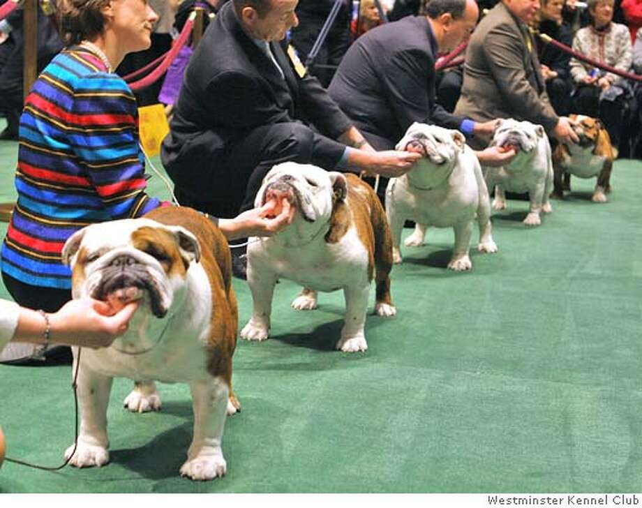 Line of bulldogs. (Westminster Kennel Club)