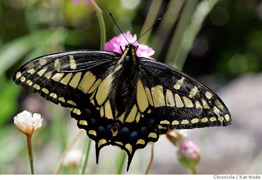 GLOBAL_BUTTERFLIES_594_KW_.jpg Papilio zelicaon Anise Swallowtail butterfly shot in Oakland, Ca, but flown in from Asland, Or. on June 2, 2006..  Kat Wade/The Chronicle ** Mandatory Credit for San Francisco Chronicle and photographer, Kat Wade, No Sales Mags out Photo: Kat Wade