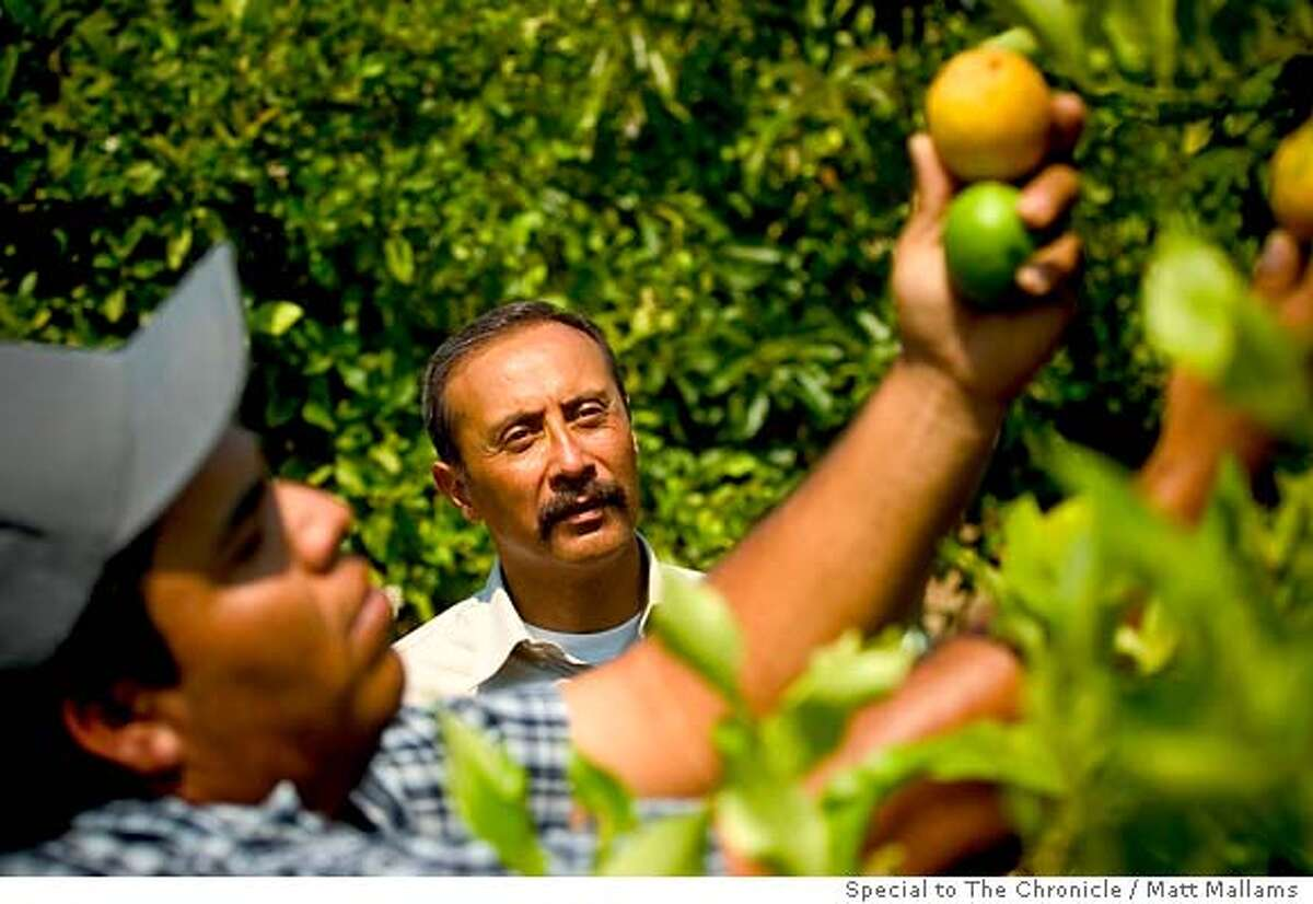 Henry Vega, 45, of Ventura, CA, poses in one of his lemon fields outside of Ventura, CA, as Rigoberto Flores inspects the lemons in the foreground on Friday, August 17, 2007. Henry is a citrus and avocado grower and President of Coastal Harvesting, a farmworker contracting company in Santa Paula, CA. (Matt Mallams / Special to The Chronicle) Henry Vega, Rigoberto Flores