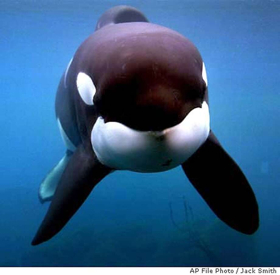 "** FILE ** Keiko the killer whale, who was the star of the ""Free Willy"" movies, swims in his tank at the Oregon Coast Aquarium in Newport, Ore., in this Jan. 22, 1998 file photo. Keiko has died, his caretakers said early Saturday, Dec. 13, 2003. The whale, who was 27, died Friday afternoon, Dec. 12, 2003, after the sudden onset of pneumonia in the Taknes fjord in Norway. (AP Photo/Jack Smith, File) Photo: JACK SMITH"
