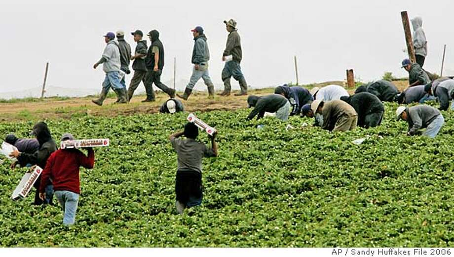 Farm workers pick strawberries at a field in Carlsbad, CA on Saturday, April 1, 2006. At issue on the immigration controversy is a debate over a proposal that would legalize an estimated 11 million illegal immigrants in the United States and expand guest worker programs for an estimated 400,000 immigrants each year.(AP Photo/Sandy Huffaker)  Ran on: 09-23-2006  Farmworkers pick strawberries at a field in Carlsbad (San Diego County). Sanitary conditions have improved significantly in recent years. Photo: SANDY HUFFAKER