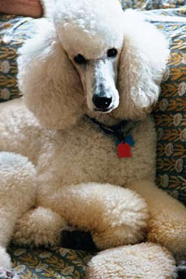 "sofadog6x9162ppi.JPG for POODLEXX; ""Poodle Prejudice"" (162 dpi versions) / HO MANDATORY CREDIT FOR PHOTOG AND SF CHRONICLE/ -MAGS OUT"