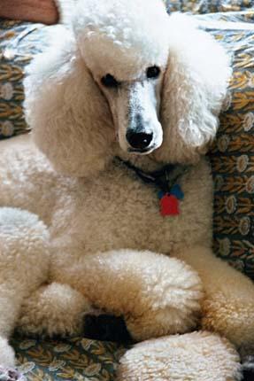 Getting Over Poodle Prejudice Long Vilified As Prissy Pups Standard Poodles Can Still Elicit