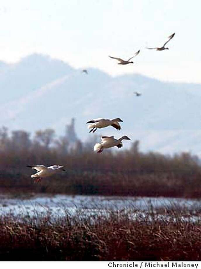 Snow Geese come in for a landing.  Bird watching at the Sacramento National Wildlife Refuge near Willows where over 500,000 ducks and 300,000 geese winter, making it one of the premier wildlife viewing locations on the Pacific Flyway.  Event on 12/3/03 in Willows.  MICHAEL MALONEY / The Chronicle Photo: MICHAEL MALONEY