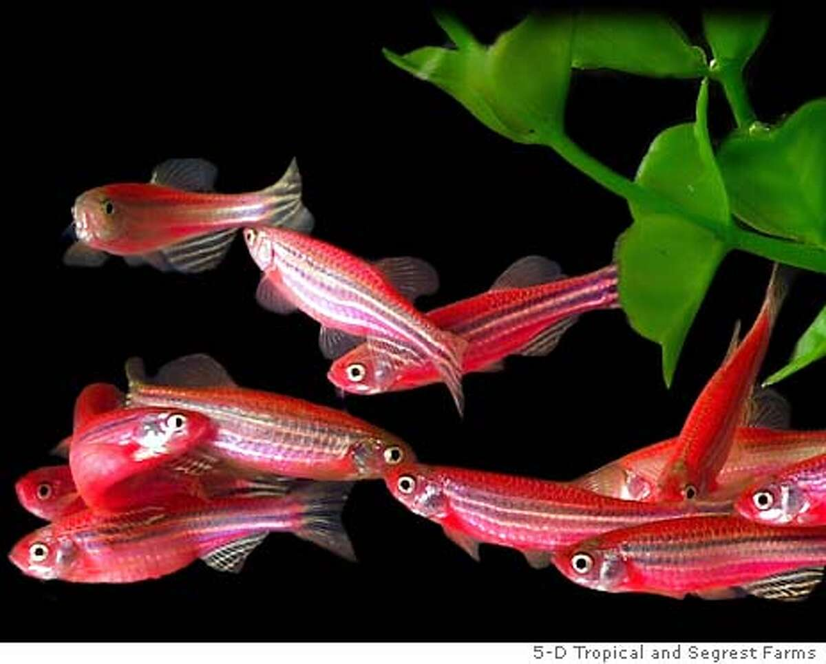 (NYT29) UNDATED -- Nov. 21, 2003 -- SCI-GENE-ALTERED-FISH -- Aquarium owners will soon be able to purchase a genetically modified pet: a zebra fish that fluoresces under black light and is extra bright under regular light, thanks to a gene taken from a sea coral. GloFish fluorescent zebra fish, the first genetically modified pet in the U.S., will add brilliant color to aquariums beginning January 5, 2004. (5-D Tropical and Segrest Farms/The New York Times) *LITE Photo caption 1069286400NYTNS(NYT29) UNDATED -- Nov. 21, 2003 -- SCI-GENE-ALTERED-FISH -- Aquarium owners will soon be able to purchase a genetically modified pet: a zebra fish that fluoresces under black light and is extra bright under regular light, thanks to a gene taken from a sea coral. GloFish fluorescent zebra fish, the first genetically modified pet in the U.S., will add brilliant color to aquariums beginning January 5, 2004. (5-D Tropical and Segrest Farms-The New York Times) *LITE__XNYZ, XNYT Photo caption 1069286400NYTNS(NYT29) UNDATED -- Nov. 21, 2003 -- SCI-GENE-ALTERED-FISH -- Aquarium owners will soon be able to purchase a genetically modified pet: a zebra fish that fluoresces under black light and is extra bright under regular light, thanks to a gene taken from a sea coral. GloFish fluorescent zebra fish, the first genetically modified pet in the U.S., will add brilliant color to aquariums beginning January 5, 2004. (5-D Tropical and Segrest Farms-The New York Times) *LITE__XNYZ, XNYT