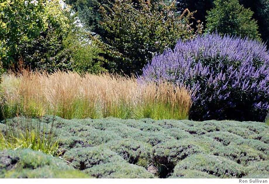 shorn lavender shrubs, big bunchgrasses, and Chaste-tree, Matanzas Creek Estate, Santa Rosa . Photo: Ron Sullivan