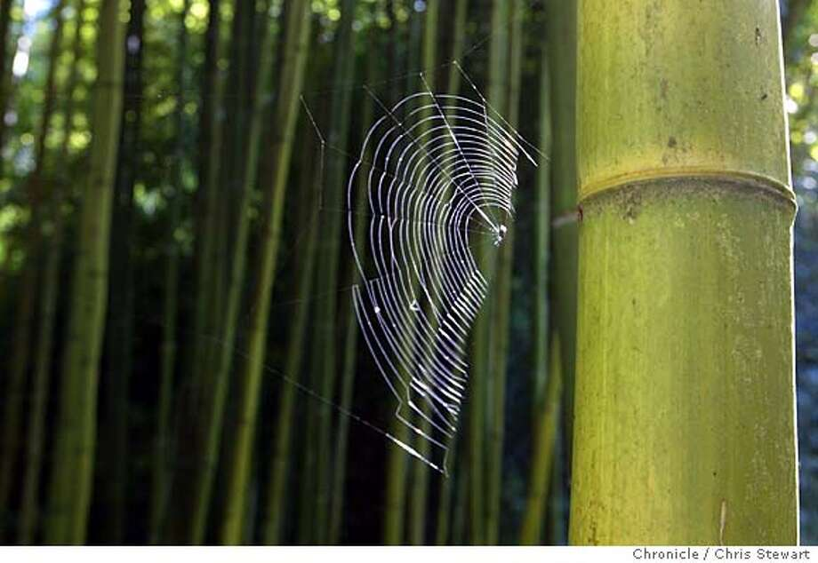 "Event on 11/12/03 in Sebastopol. A spiderweb clings to Phyllostachys bambusoides or ""Madake"" in a grove at Bamboo Sourcery in Sebastopol. Bamboo Sourcery is a 7-acre nursery dedicated to rare and common bamboos. Owner is Jennifer York. Chris Stewart / The Chronicle MANDATORY CREDIT FOR PHOTOG AND SF CHRONICLE/ -MAGS OUT Photo: Chris Stewart"