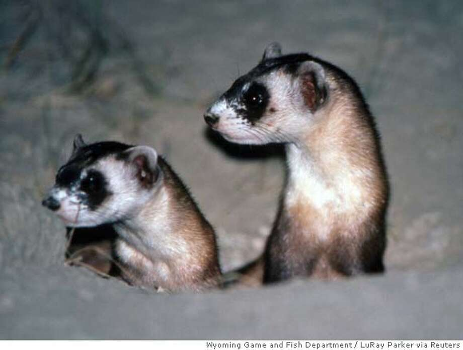 Two juvenile black-footed ferrets peer out from a white-tailed prairie dog burrow in Shirley Basin, Wyoming in this undated photograph. The black-footed ferret, once the rarest mammal in the world, has made an astonishing comeback in the U.S. state of Wyoming after a captive breeding program, researchers said on August 9, 2007. REUTERS/LuRay Parker/ Wyoming Game and Fish Department/Handout (UNITED STATES). EDITORIAL USE ONLY. NOT FOR SALE FOR MARKETING OR ADVERTISING CAMPAIGNS. NO ARCHIVES. NO SALES. EUO NARCH NOSALES Photo: HO