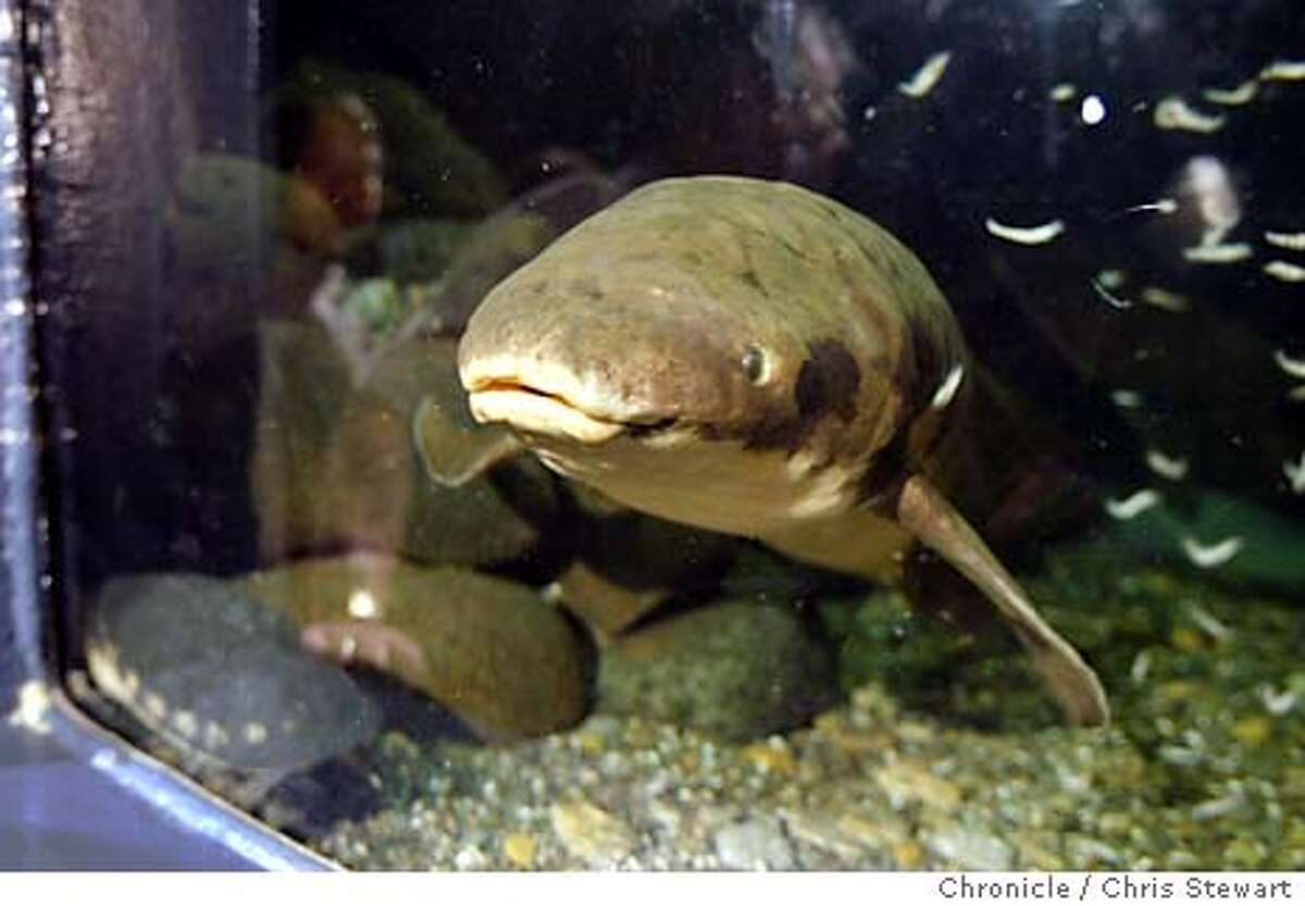 fish0091_cs.jpg Event on 11/18/03 in San Francisco. Methuselah, an Australian lungfish residing at the Steinhart Aquarium takes a look at visitors during the celebration today of its 65th birthday. Methuselah has lived at the aquarium since 1938. Chris Stewart / The Chronicle