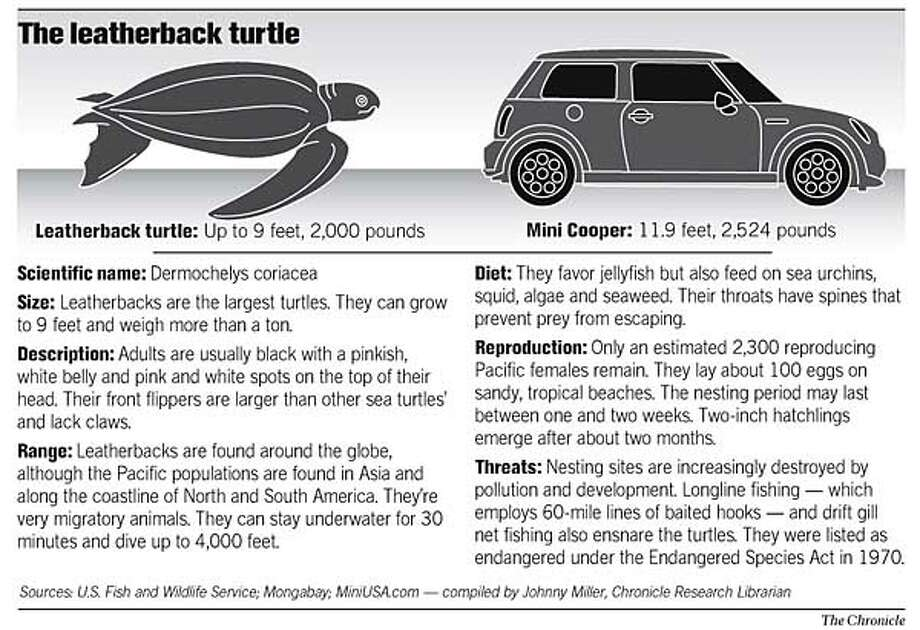 The Leatherback Turtle. Chronicle Graphic