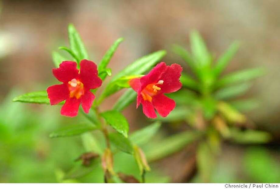 Red monkeyflower is a visual delight but may be less predictable than its brighter-hued relative. Chronicle photo, 2003, by Mike Kepka
