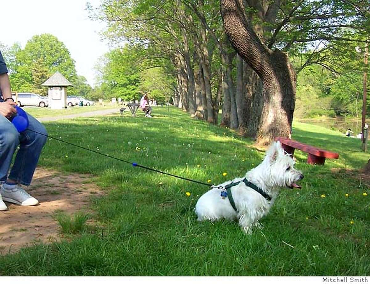 """Snowball, on a flexi leash. Photo credit: """"Mitchell Smith"""" or """"Mitchell Smith, Somerset, NJ"""