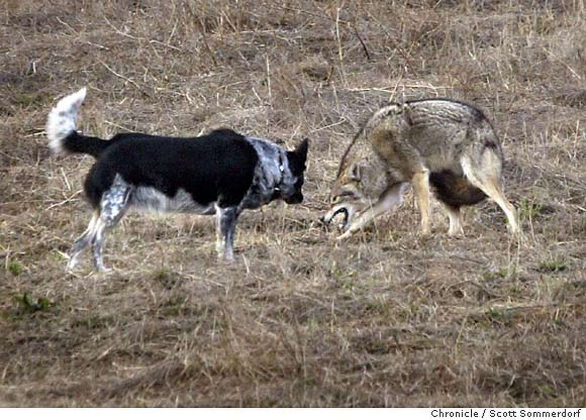 The Bernal Heights coyote reacts to a dog that rushed up to investigate. The dog, an Australian Cattle Dog named