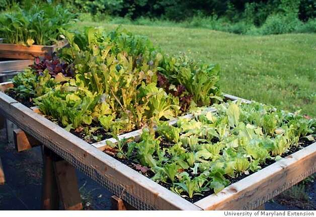 "renters_gardening caption: The ""salad table"" can be made easily and will allow anyone to grow a variety of lettuces and herbs in a mere 3 inches of soil. credit: University of Maryland Extension Photo: University Of Maryland Extension"