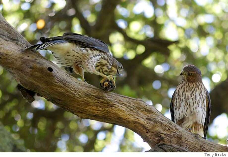 Young Cooper's hawks perch in a tree in Berkeley's John Hinkel Park. The bird on the left is gnawing on bark. Photo by Tony Brake