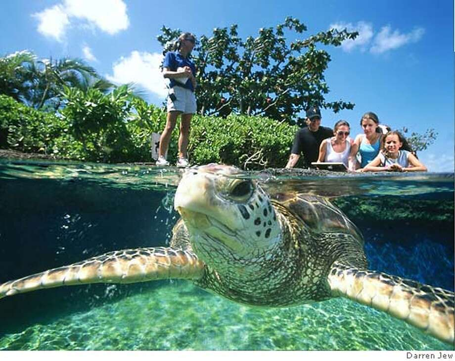 � TRAVEL MAUI -- Turtle Lagoon  Darren Jew �Juvenile green sea turtles frolic in Maui Ocean Center�s Turtle Lagoon, one of over 60 indoor and outdoor exhibits at this state of the art aquarium.� For story related to Maui Ocean Center Turtle Lagoon.jpg 5/14/04 in , Hawaii. Photo: Darren Jew