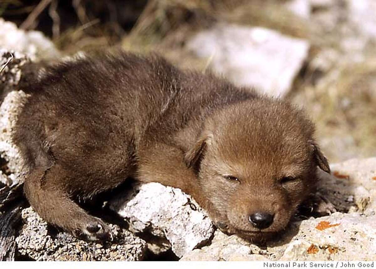 Coyote pups are brown with dark eyes like this youngster. After their eyes open, the pups spend months playing with their litter mates and learning the business of being coyotes. National Park Service photo by John Good