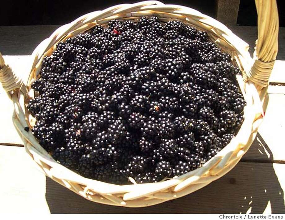 Ripe blackberries are delicious when just picked, but they may be frozen for later use in pies, jams and other desserts. Chronicle photo by Lynette Evans