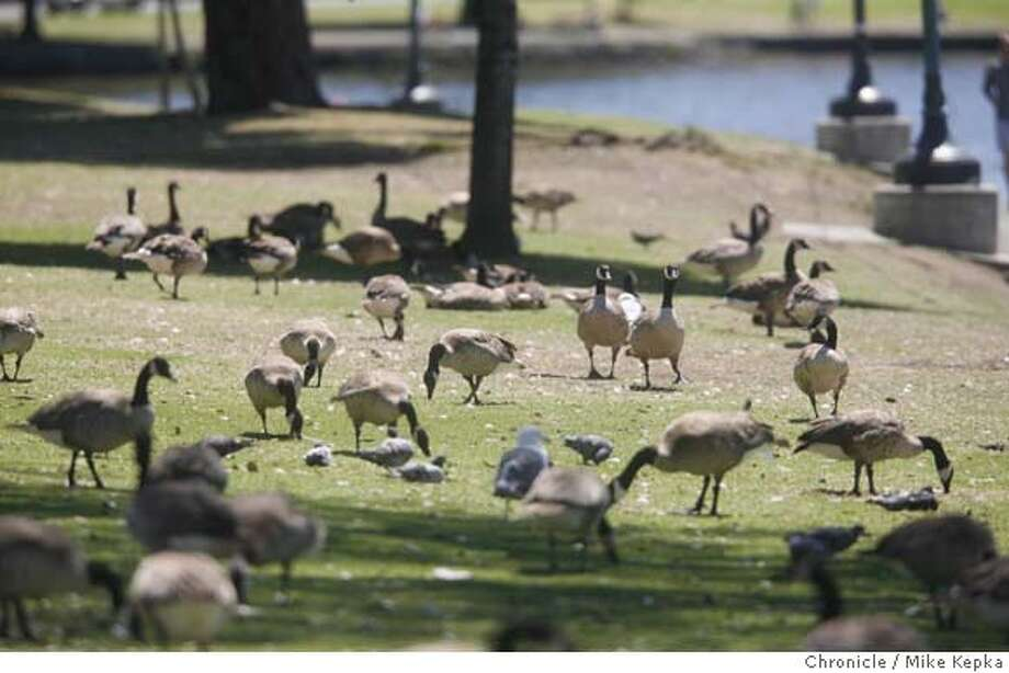 goosepoop00000104.JPG At least 2,000 Canadian geese reside on the banks of Oakland's Lake Merritt. These birds have scarred many of the greenest areas around the lake and drop an estimated 1 Ton of goose poop every 10 days.  7/20/07. Mike Kepka / The Chronicle (cq) MANDATORY CREDIT FOR PHOTOG AND SF CHRONICLE/NO SALES-MAGS OUT Photo: Mike Kepka