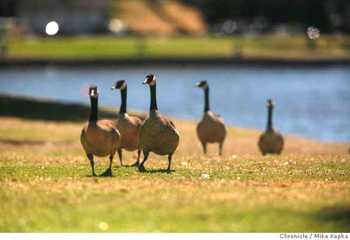 goosepoop00000045.JPG At least 2,000 Canadian geese reside on the banks of Oakland's Lake Merritt. These birds have scarred many of the greenest areas around the lake and drop an estimated 1 Ton of goose poop every 10 days. 7/20/07. Mike Kepka / The Chronicle (cq) MANDATORY CREDIT FOR PHOTOG AND SF CHRONICLE/NO SALES-MAGS OUT