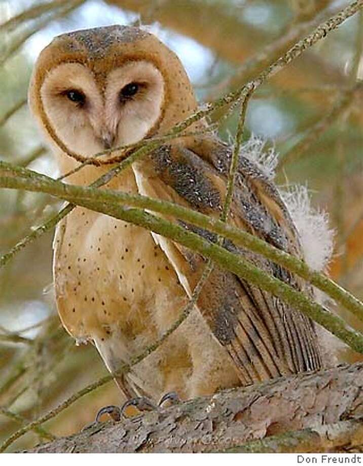 A young barn owl fledged from a Hungry Owl Project owl box in Novato; owls like to snack on gophers and other rodents. Photo by Don Freundt