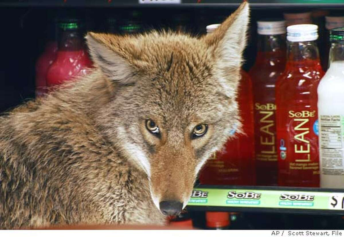 **ADVANCE FOR TUESDAY, MAY 29 - FILE** A coyote looks around in a cooler at a Quizno's sandwich shop in Chicago in this photo from April 3, 2007. Increased encounters with coyotes in urban areas prove that the remarkably adaptive critters, famous for roaming rural stretches, prairies and western deserts, have gone metropolitan. Of the 541 coyotes removed on average across Illinois over the past three years by licensed specialists in dealing with animals deemed nuisances, 312 were from the Chicago area, the state Department of Natural Resources says. (AP Photo/Sun-Times, Scott Stewart, File) **CHICAGO OUT, MAGS OUT**