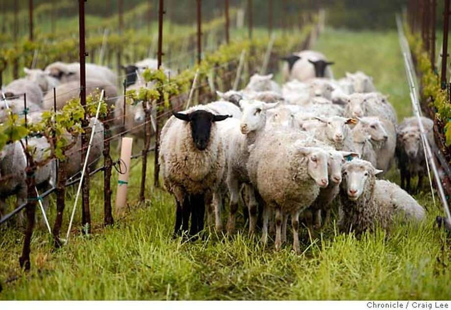 """ORGANIC04_0055_cl.JPG  Story on organic grape growing and winemaking. These are sheep owned by Don Watson, """"mowing"""" or grazing in the vineyard rows to keep down the growth of weeds. This vineyard was at Cline Cellars vineyard at Adobe Creek in Petaluma.  Craig Lee / The Chronicle  Ran on: 05-04-2006  Sheep remove the cover crop from vineyards and process it into natural fertilizer. MANDATORY CREDIT FOR PHOTOG AND SF CHRONICLE/NO SALES-MAGS OUT Photo: Craig Lee"""