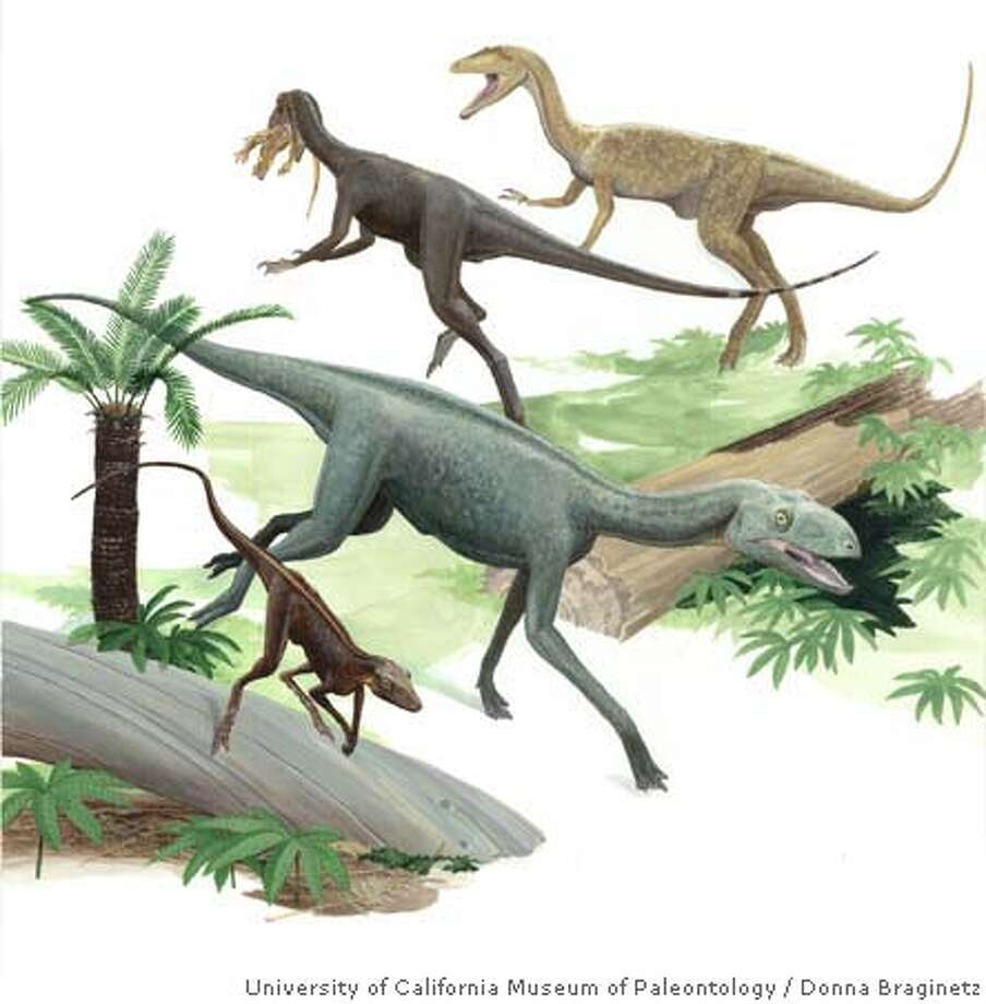 This scene depicts four dinosaurs and dinosaur precursors from the Hayden Quarry of northern New Mexico. The coexistence during the Late Triassic of the dinosaur precursors Dromomeron romeri (lower left) and a Silesaurus-like animal (bottom center), and the dinosaurs Chindesaurus bryansmalli (top center, with crocodylomorph in its mouth) and a coelophysoid theropod (upper right), indicates that the rise of dinosaurs was prolonged rather than sudden. Artwork by Donna Braginetz / University of California Museum of Paleontology. MANDATORY CREDIT FOR PHOTOG AND SAN FRANCISCO CHRONICLE/NO SALES-MAGS OUT Photo: Donna Braginetz/UC Museum Of Pal