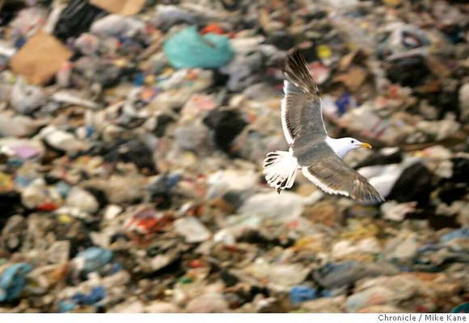 GREEN_thedump_0005_MBK.JPG  A seagull flies over trash at SF Recycling and Disposal's Tunnel Ave. complex in San Francisco, CA, on Wednesday, June, 13, 2007. SF Recycling and Disposal is a subsidiary of Norcal Waste. photo taken: 6/13/07  Mike Kane / The Chronicle * Photo: MIKE KANE