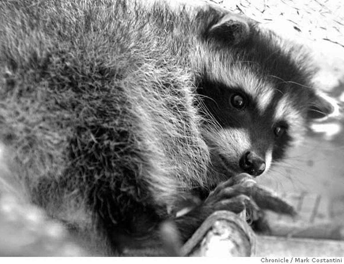 Baby raccoon hangs out at shelter. Jamie Ray, director of the volunteer San Francisco Rescued Orphan Mammal Program and some of the animals at the shelter for baby animals. PHOTO: Mark Costantini / The Chronicle MANDATORY CREDIT FOR PHOTOGRAPHER AND SAN FRANCISCO CHRONICLE/NO SALES-MAGS OUT