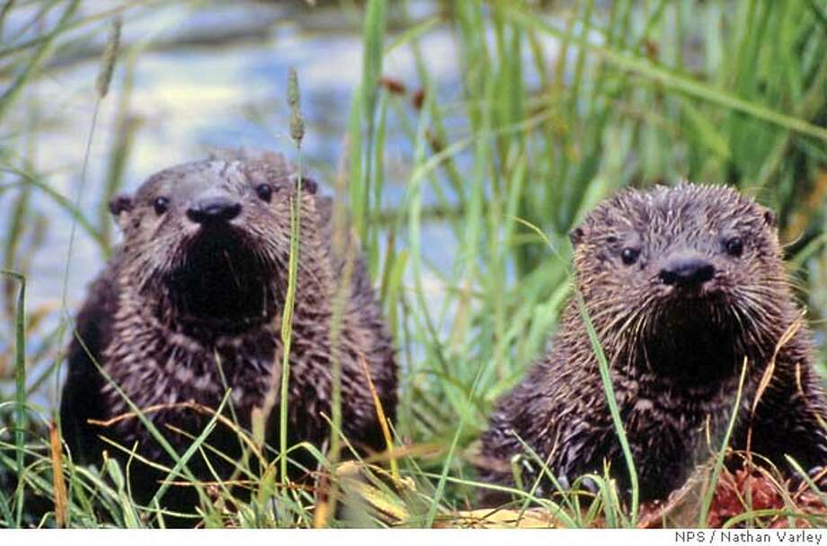 A sea-otter show on a riverbank or sea cliff is worth the visit. National Park Service photo by Nathan Varley