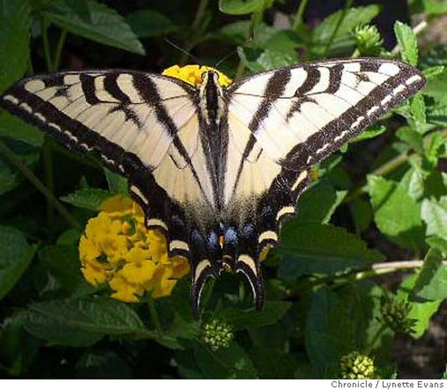 A swallowtail butterfly perches on 'Gold Mound' lantana as the Central Valley's weather heats up and animals respond. Chronicle photo by Lynette Evans