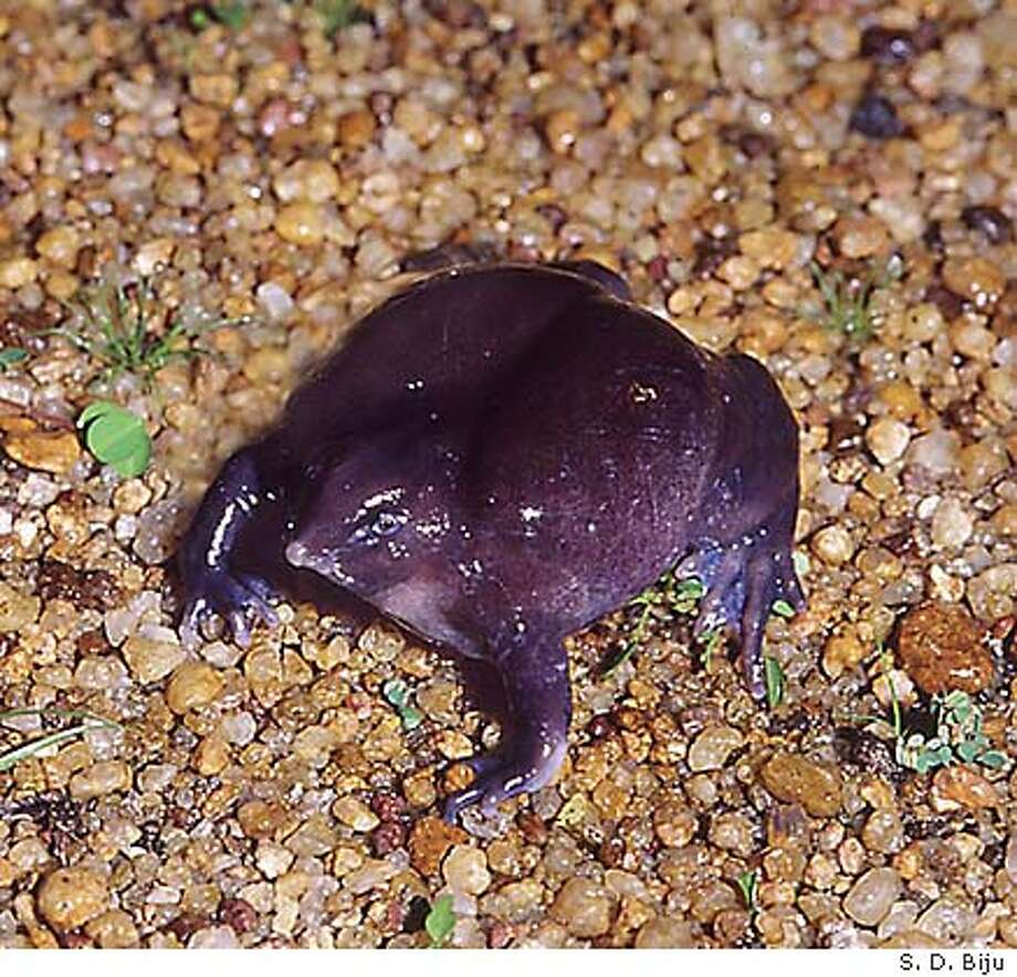 A weird and unique purple frog that burrows in the ground as been discovered in India and scientists say it is �amazing� --a completely new and unknown species whose ancestors emerged from the evolutionary tree about 100 million years ago. It�s been named Nasikabatrachus sahyadrensis (upper case N, lower case s) Photo goes with perlman story slugged frog17 now in CCI Source Basket. Photo credit: S. D. Biju