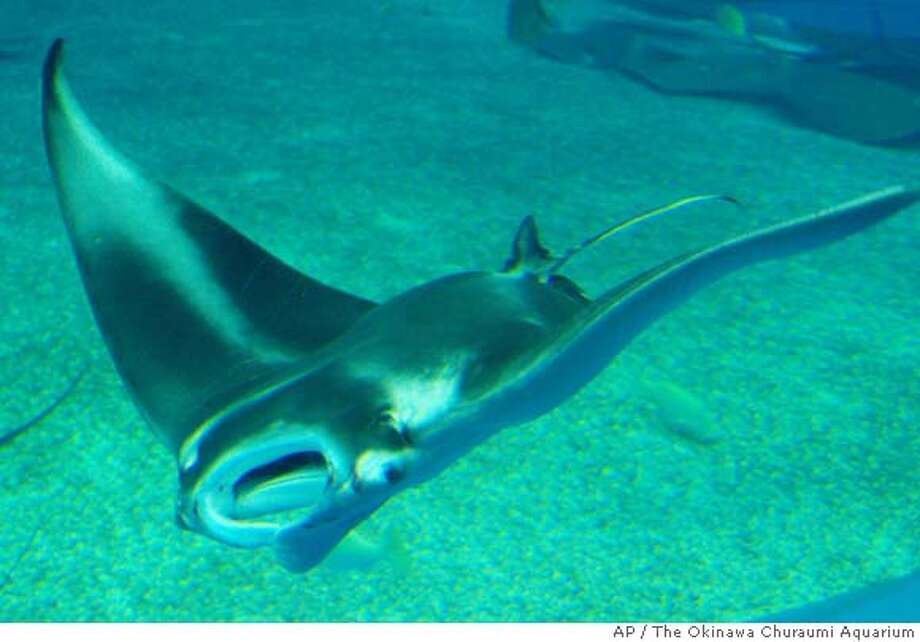 A baby giant manta ray swims inside a huge fish tank at the Okinawa Churaumi Aquarium in Motobucho, Okinawa Prefecture (State), southwestern Japan, Saturday, June 16, 2007. The female manta was born earlier in the day, becoming the first manta to be born inside a fish tank, officials said Sunday. (AP Photo/The Okinawa Churaumi Aquarium) ** NO SALES, EDITORIAL USE ONLY ** NO SALES, EDITORIAL USE ONLY Photo: Ap