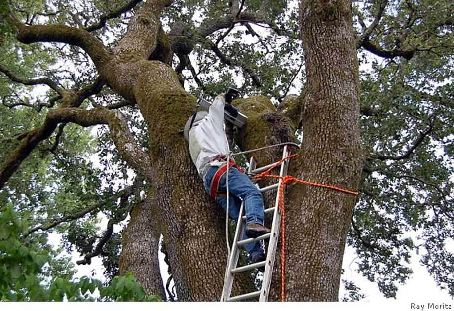 Ask an Arborist uses a Resistograph machine to assess the  structural condition of a bee tree. Photo: Ray Moritz