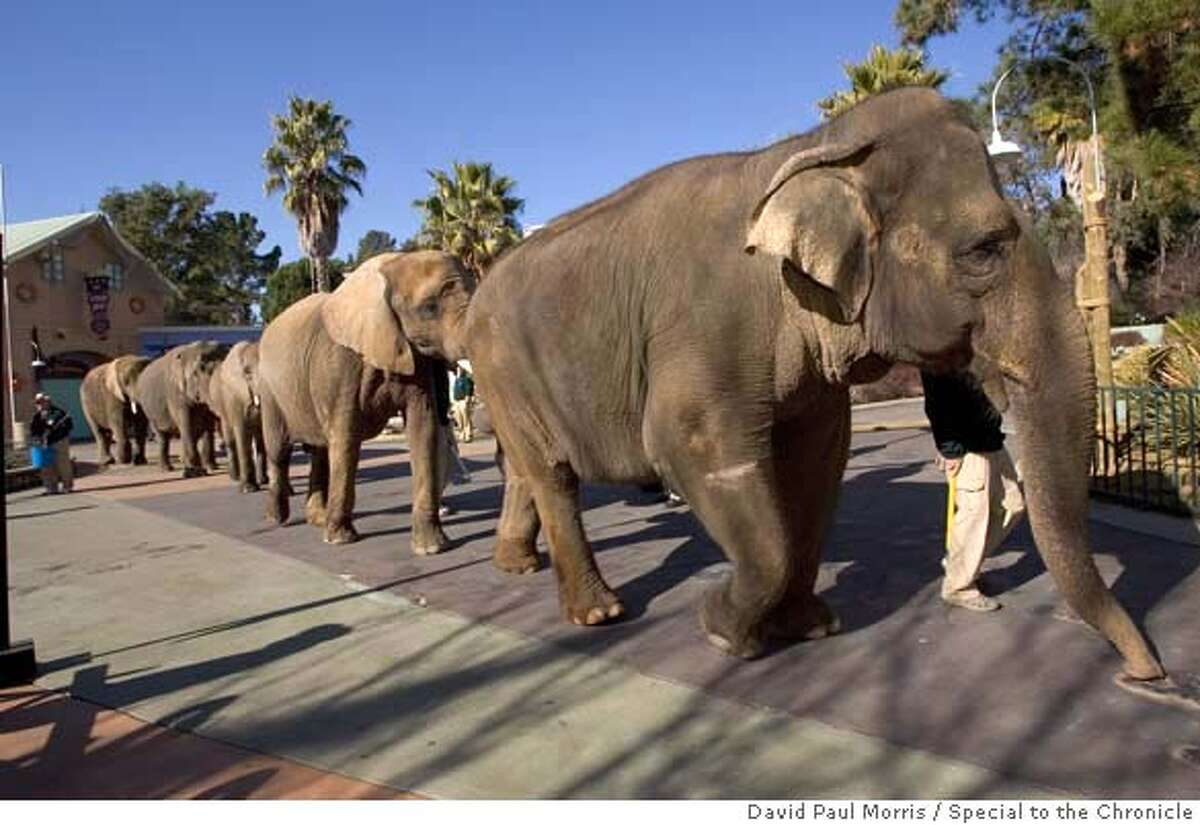 VALLEJO, CA - JANUARY 17: Elephants are being escorted back to their exhibits at Northern California's theme park Six Flags Marine World where it was announced a name change to Six Flags Discovery Kingdom on January 17, 2007 in Vallejo, California. The renovated theme park, which will open on March 24, 2007, will feature a wide range of new experiences that will include interactions with exotic land animals and marine life to thrilling rides. (Photo by David Paul Morris)