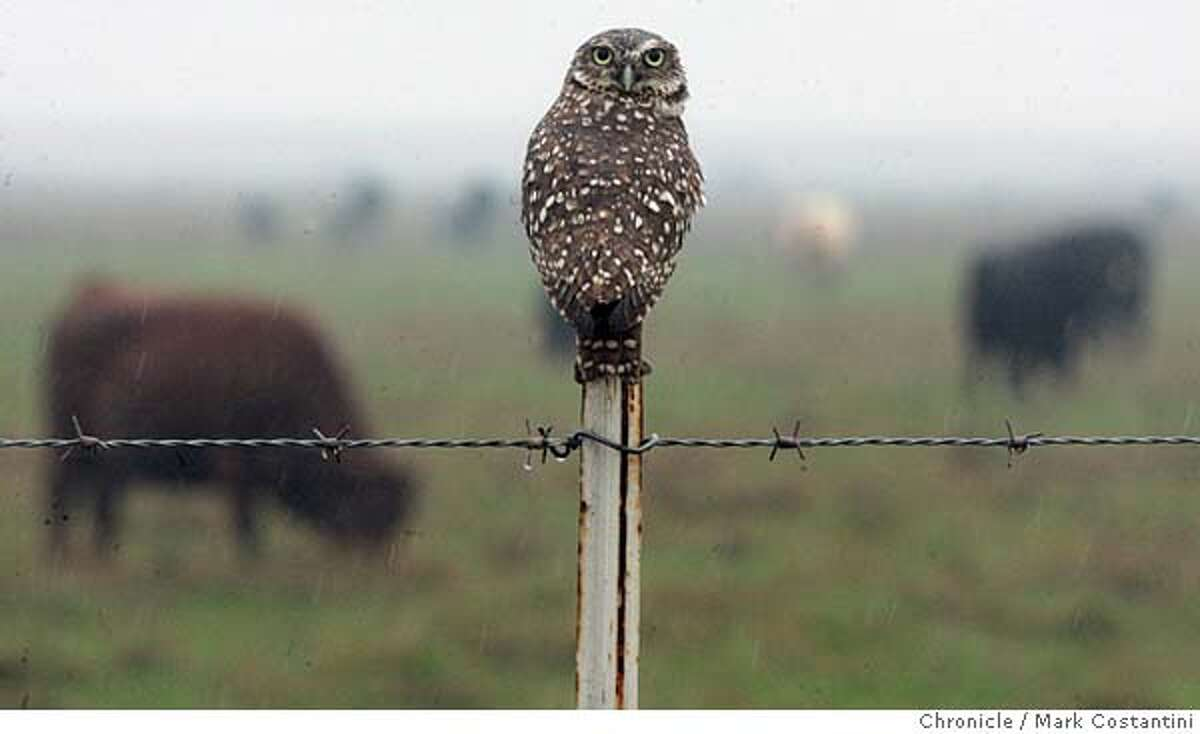 delta18_2297 12/23/05 An owl sits on a fencepost as cattle graze near Liberty Island. Scenes on the California Delta in the Yolo Bypass and Liberty Island -- for delta story. Event on 12/23/05 in Dixon, CA. Photo: Mark Costantini /San Francisco Chronicle.