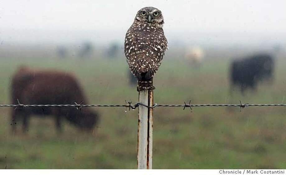 delta18_2297 12/23/05  An owl sits on a fencepost as cattle graze near Liberty Island.  Scenes on the California Delta in the Yolo Bypass and Liberty Island -- for delta story. Event on 12/23/05 in Dixon, CA. Photo: Mark Costantini /San Francisco Chronicle. Photo: MARK COSTANTINI