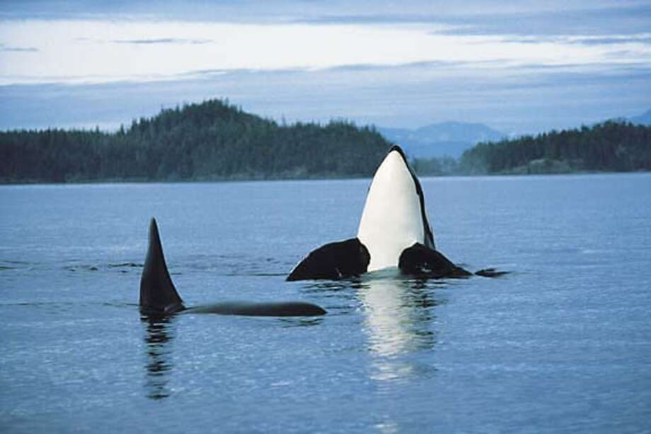 TRAVEL VICTORIA -- Orcas, Vancouver Island Credit: Tourism British Columbia Fit city: Kayaking in Gulf Islands National Park, above; cycling and in-line skating on the Selkirk Trestle on &quo;the Goose.&quo; Fit city: Kayaking in Gulf Islands National Park, above; cycling and in-line skating on the Selkirk Trestle on &quo;the Goose.&quo; Ran on: 12-25-2005  Orcas play in the waters off of Vancouver Island in British Columbia, one of several scenic Canadian locales with lodgings recommended by Chronicle readers. Photo: Tourism British Columbia